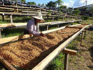 honey process piantagione