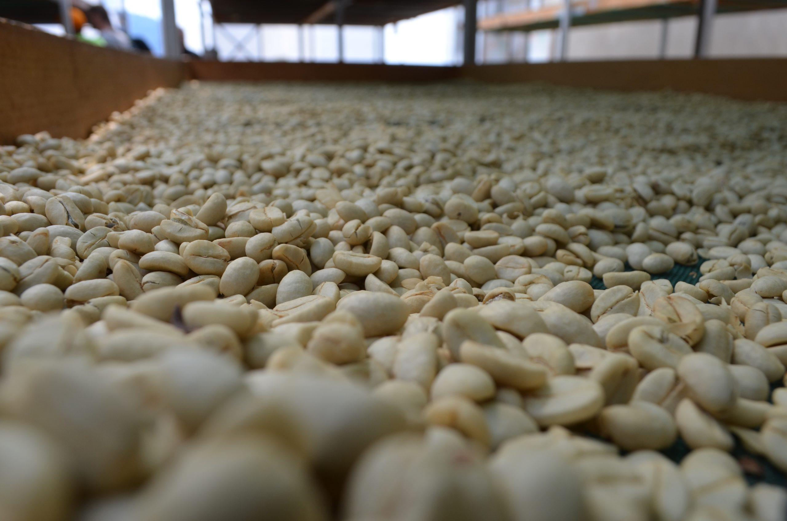 I principali metodi di lavorazione del caffè verde: il metodo lavato